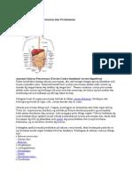 Anatomi Saluran Pencernaan Dan Peritoneum