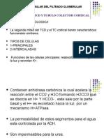 Porcion Final Del Tcd y Tubulo Colector 3