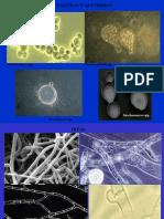 02 - Celula Fungica-tipos de Talo Plecten- Alt de Reprod