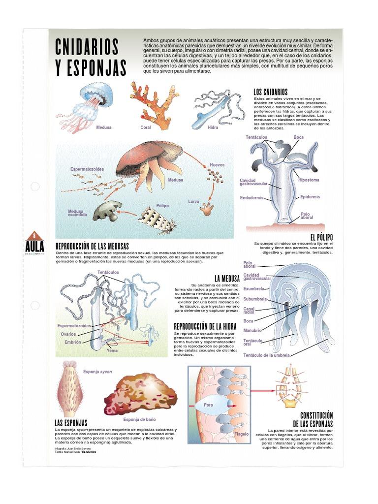 Cnidarios o celentéreos y Poríferos o Esponjas