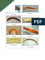 Catalogo Fotos Macroinvertebrados