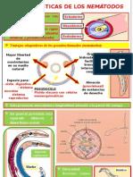Phylum NEMÁTODOS