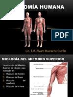 Anatomía Humana Miembro Inferior