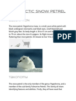 snowpetrel