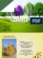 1.LARICELE