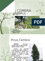 2.Pinus Cembra