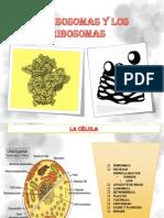 Losribosomas Biologafinal 130409210018 Phpapp01