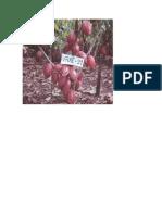 cacao final.pdf