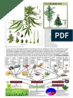 Herboristerie - Le CHANVRE (Cannabis sativa L.)
