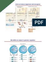 MicroRNA e Cancro II
