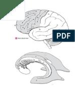 Esquemas Cerebro