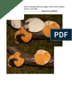 Hypocrea pallida