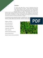Eurhynchium pulchellum