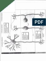 Anatomia de La Neurona, cuerpo celular y prolongaciones, mielina