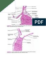 Histologi Jantung Pemb Darah