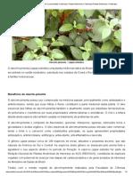 Alecrim-pimenta – Lippia Sidoides