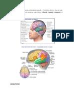 El Cerebro Se Divide en Dos Partes