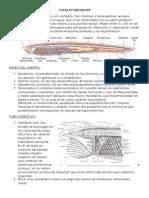 Cefalocordados - Resumen