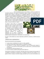 La Manzanilla o Camomila Es Una Hierba Que Suele Crecer Silvestre