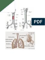 Anatomi Dan Fisiologi Bronkus