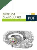 Epitelio Glandular (Hipófisis y Epífisis)