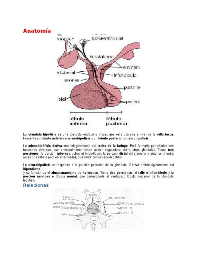 Anatomía hipofisis
