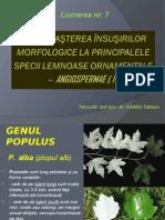 L.p. 7 Populus salix
