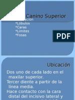 Canino Superior
