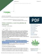 Cómo cosechar y curar tus plantas de marihuana | Blog Autoflorecientes