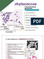bacteriologia stafilococo