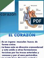 Anatomía Veterinaria Corazón