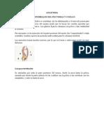 Musculo Paravertebrales Del Pectoral y Cuello