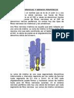 Fibras Nerviosas y Nervios Periféricos