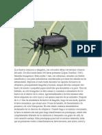 Epicauta y otros insectos