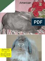 Rabbit Powerpoint