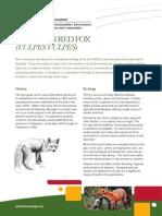 european-red-fox