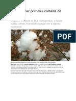 Roraima faz primeira colheita de algodão.docx