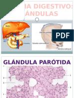 Glándulas histologia