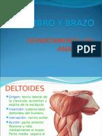 Musculos Del Hombro y Brazo
