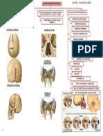 Mapa Artrologia Cabeza