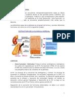 Glandula Suprarenal e