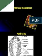 Poriferos y Celentereos