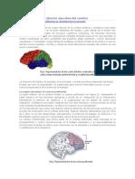 El Lóbulo Frontal Directo Ejecutivo Del Cerebro
