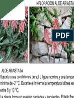 Aloe Ariastata