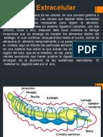 Digestión Extracelular