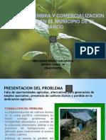 proyectosiembraycomercializaciondelcacao-120615224648-phpapp02