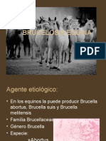 brucelosis equina