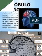 lbulofrontal-140902204404-phpapp02