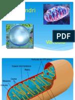 Mitocondria y Vacuola