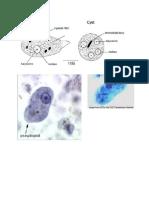 Parts of Amoeba proteus and Entamoeba histolytica